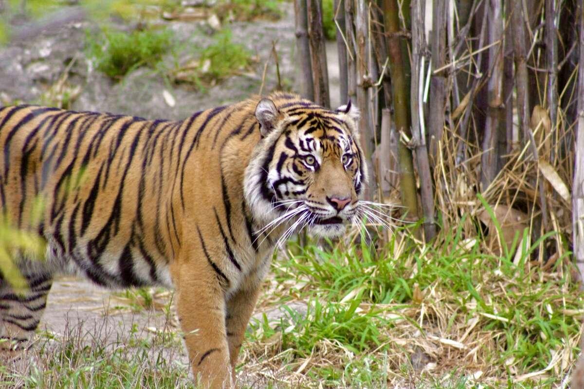 Meet Jeda, new tiger at the San Antonio Zoo.