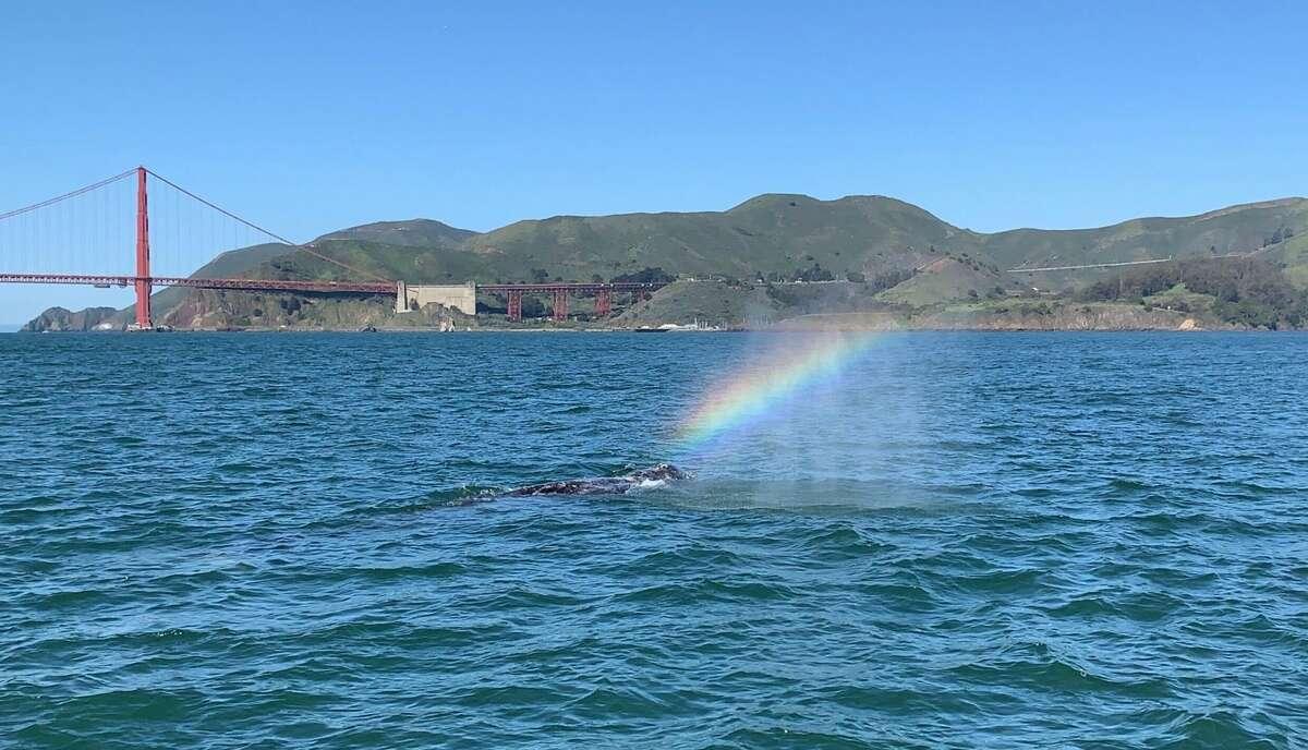 A gray whale spouts a rainbow cloud under the Golden Gate Bridge, Sunday Mar. 21, 2021.