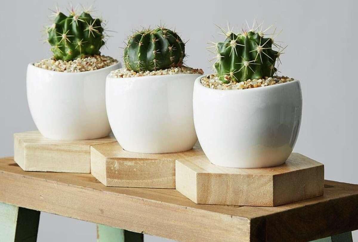 Mini Cactus Trio, Plants.com