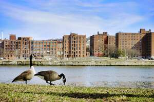 Two geese feed on the bank of the Hudson River in Hudson Shoes Park, across from the City of Troy, on Tuesday, March 23, 2021, in Watervliet, N.Y.      (Paul Buckowski/Times Union)