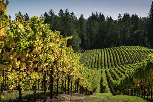 The leaves of a Russian River Valley pinot noir vineyard begin to turn color Oct. 11, 2018, near Sebastopol, Calif. A Wine Country job opportunity is going viral for its $10,000 a month pay and free rent in Sonoma County.
