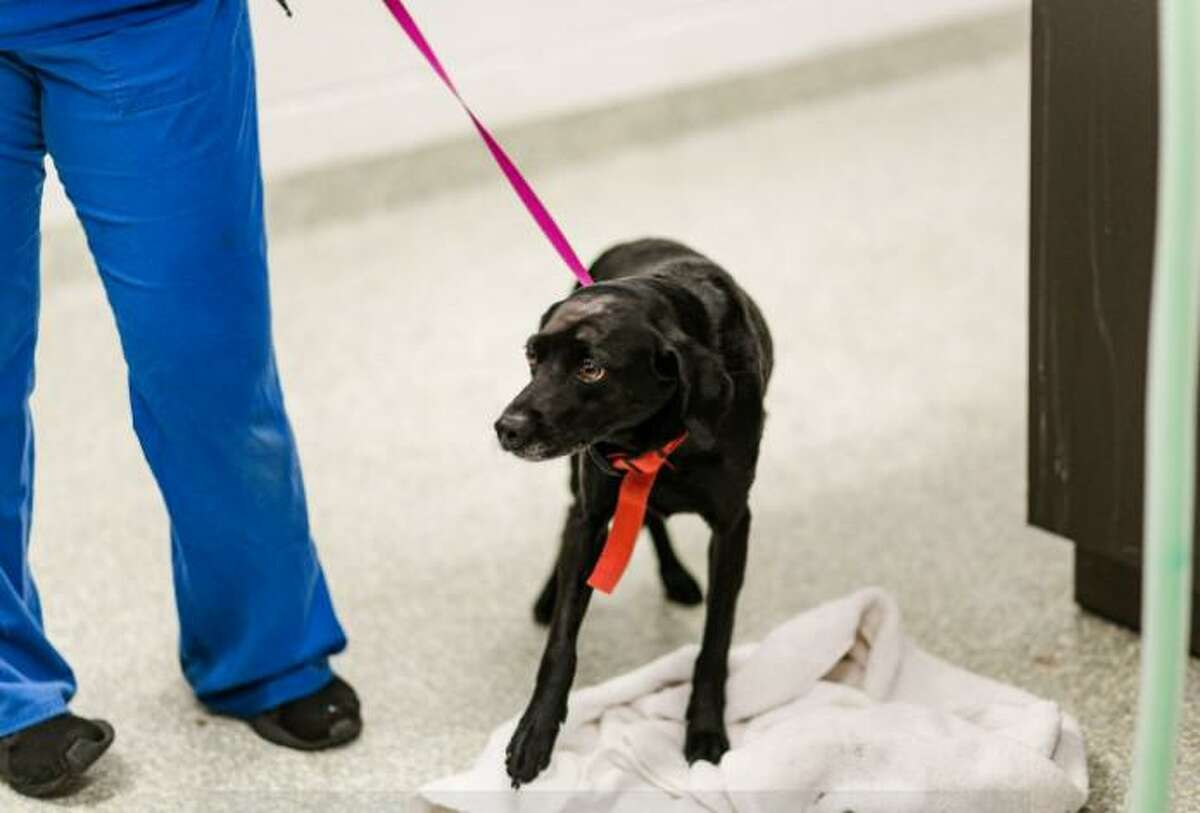 This dog was seized from its owner after being hit more than 20 times by what appears to be a leash and shoe on March 21, 2021.