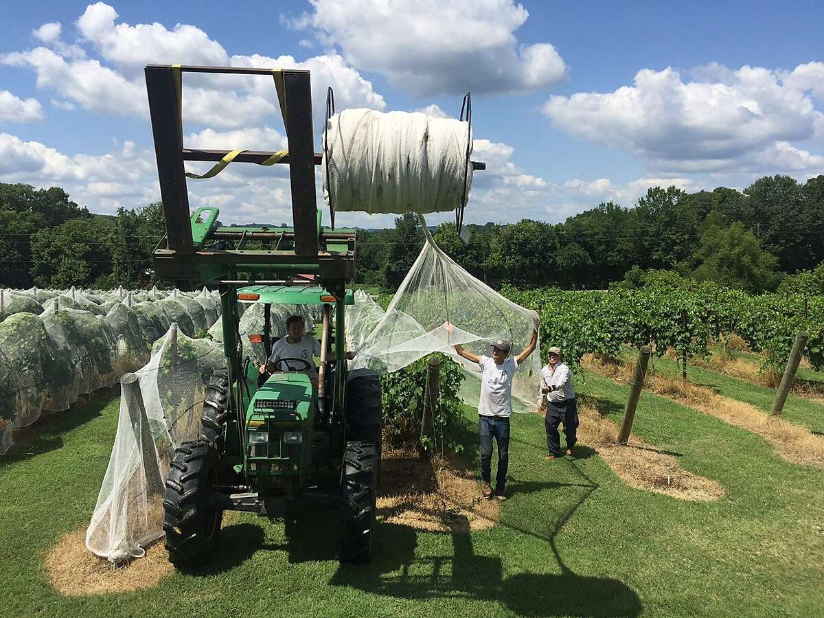 Arrington Vineyards of Nashville, Tennessee adds netting to their vines. The winery won a dozen medals at the San Francisco Chronicle Wine Competition this year.
