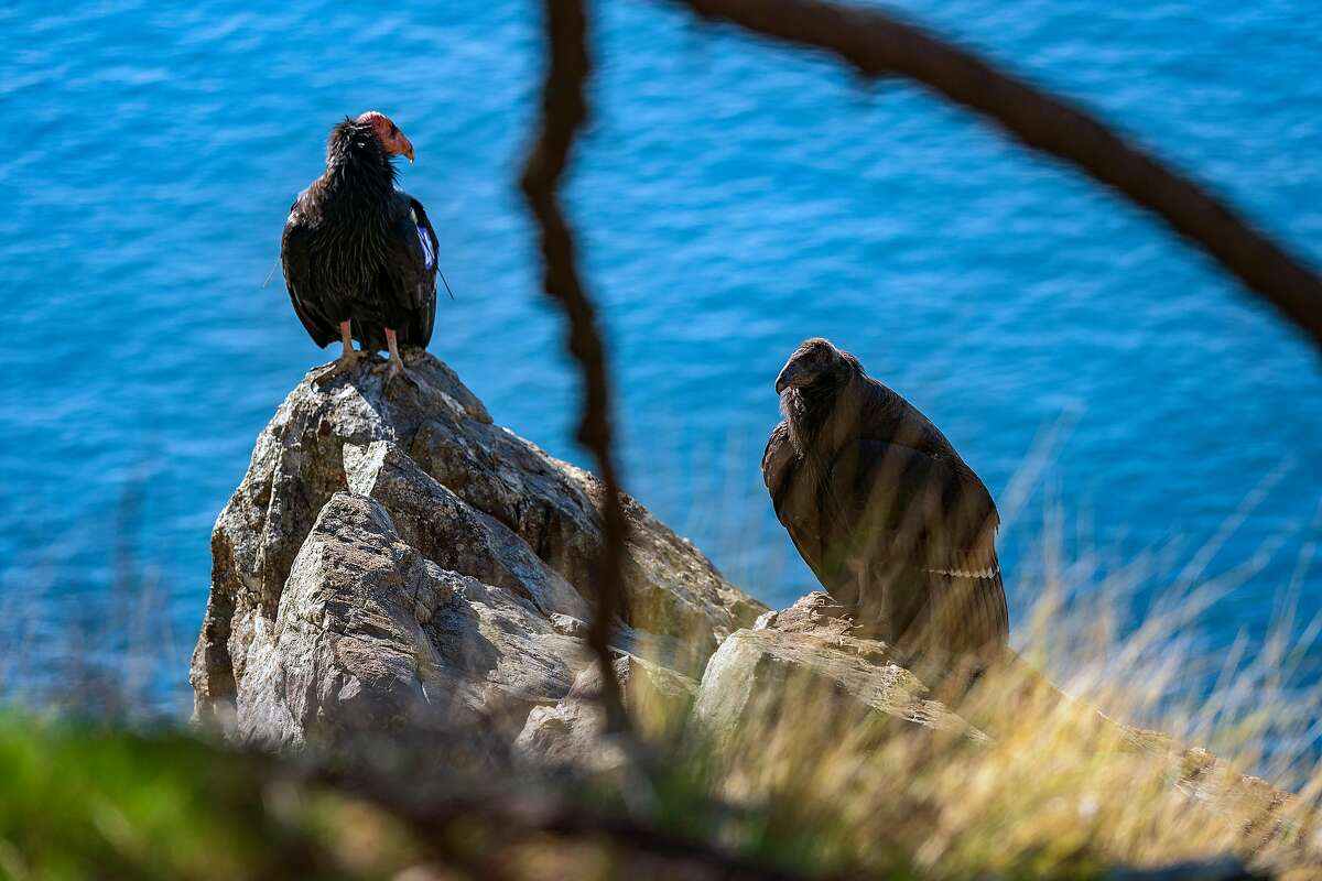 From left, Kodama, a condor tagged by the Ventana Wildlife Society, and her chick perch on a rock overlooking the coast.