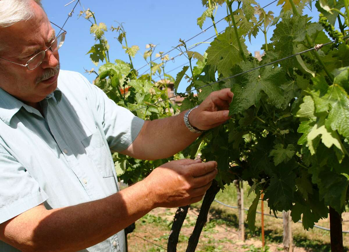Winemaker Brooks Painter inspects vines at V. Sattui Winery.