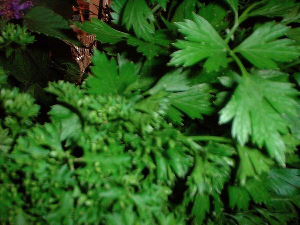 Italian (flat leaf) and curly parsley. (File photo)