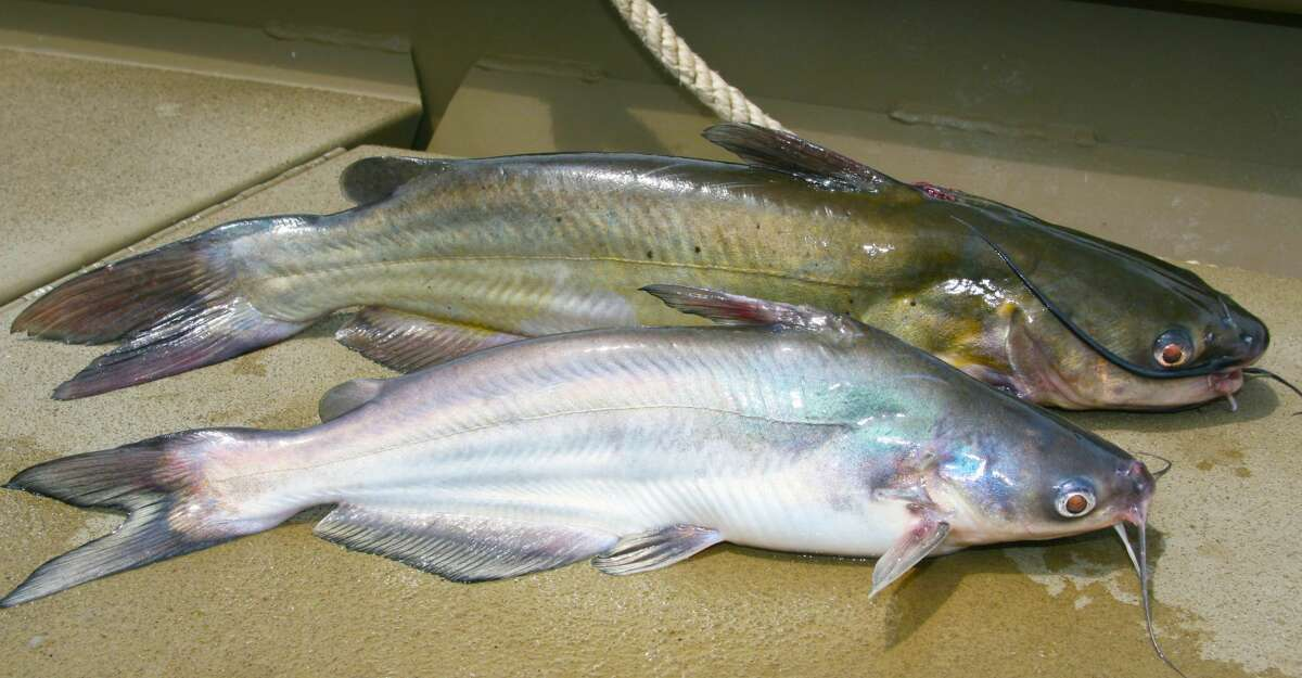 Similar appearing blue (bottom) and channel catfish (top) are Texas' most commonly-caught catfish, and can sometimes be found in mixed schools.