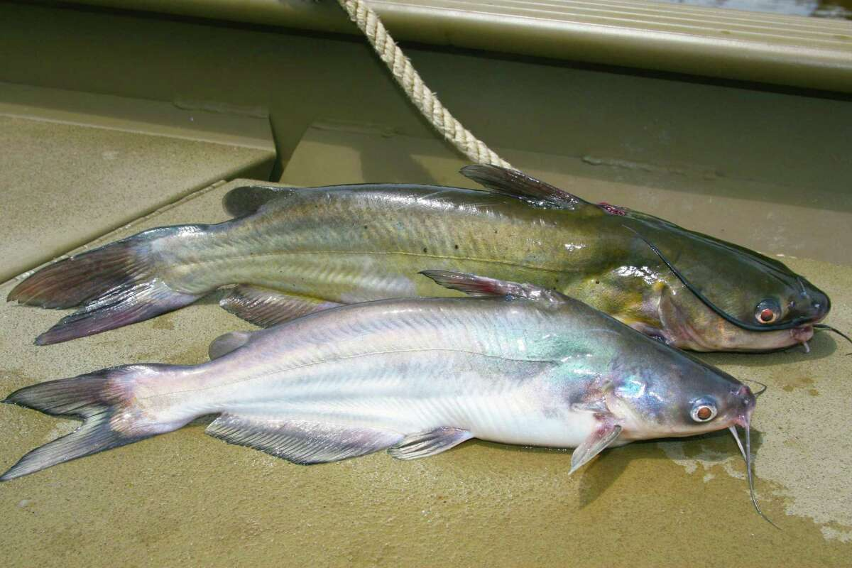New statewide regulations that go into effect Sept. 1 will remove the 12-inch minimum size limit on blue, bottom, and channel catfish and keep the 25-fish combined daily bag, but with a restriction that no more than 10 of the 25 can be 20 inches or longer.