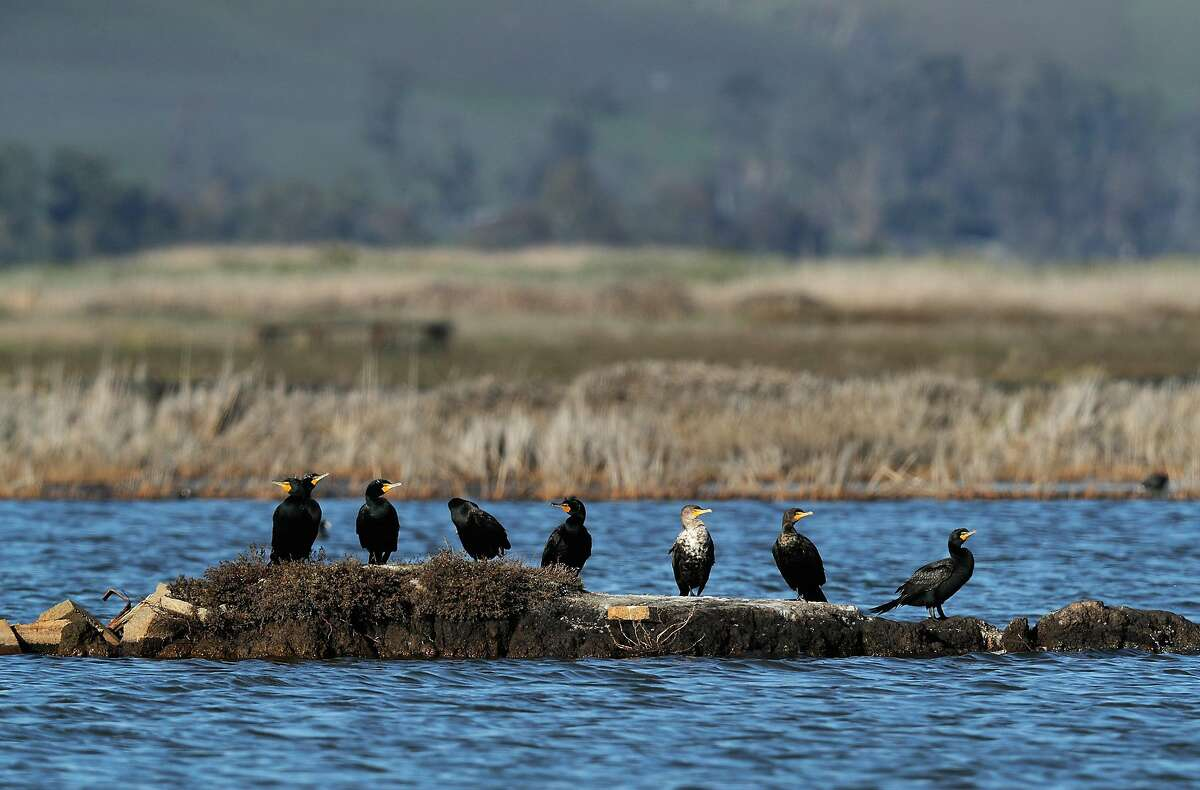 Cormorants sit on a patch of dry land in a pond on Grizzly Island in Suisun Marsh outside Fairfield. The estuary is the largest contiguous brackish marsh on the West Coast of North America.
