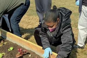 Shannalee Davis, a program participant with the nonprofit Abilis, plants lettuce in the Greenwich Land Trust's garden beds during a volunteer program.