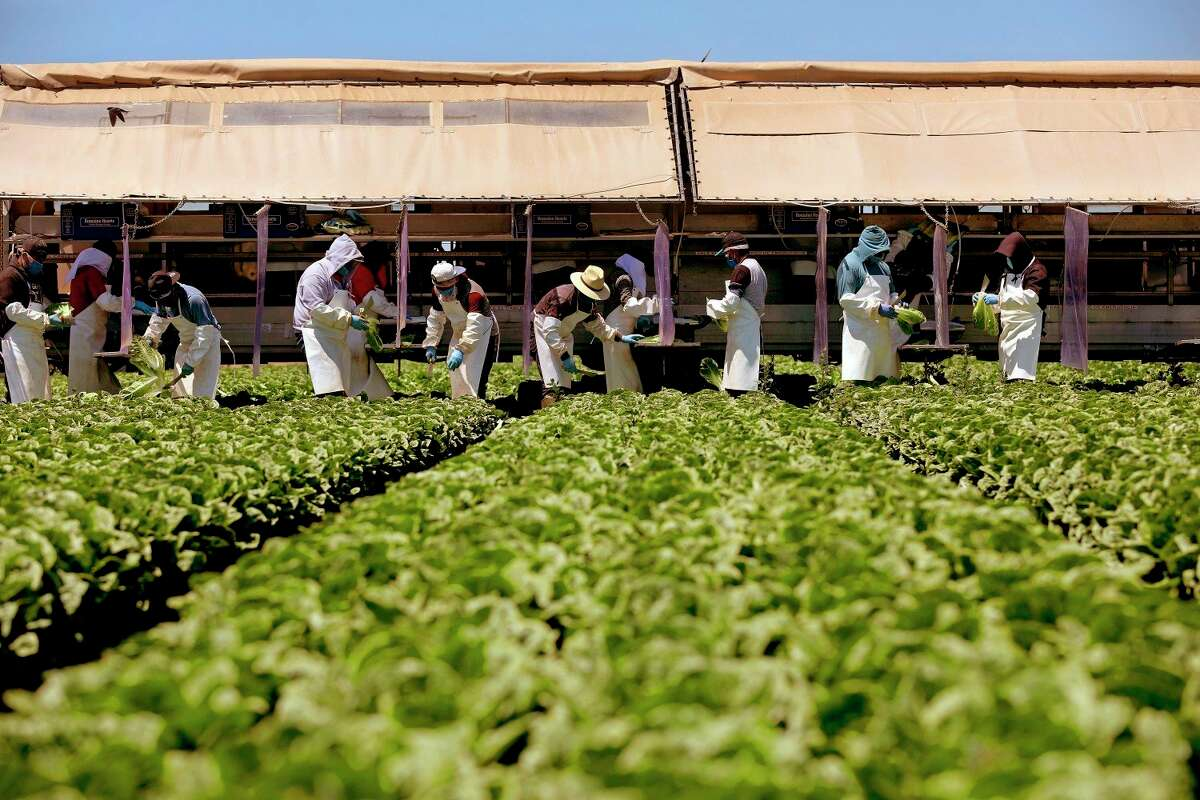 Farmworkers, separated by newly installed vinyl curtains to help protect from the spread of the coronavirus, harvest field pack romaine hearts for Fresh Harvest on May 21, 2020, in Chualar, California. (Gary Coronado/Los Angeles Times/TNS)
