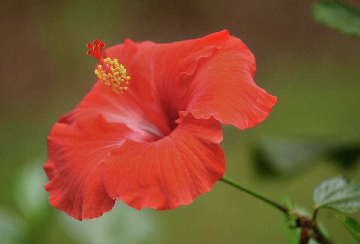 A potted hibiscus in a garden.