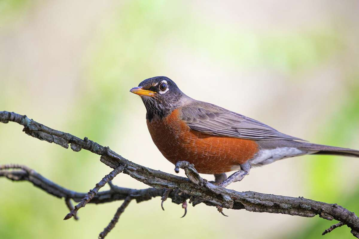 """American robins sing """"chirrup-chirrup"""" tunes. Songs resonate within the syrinx, which allows birds to sing with beaks closed."""