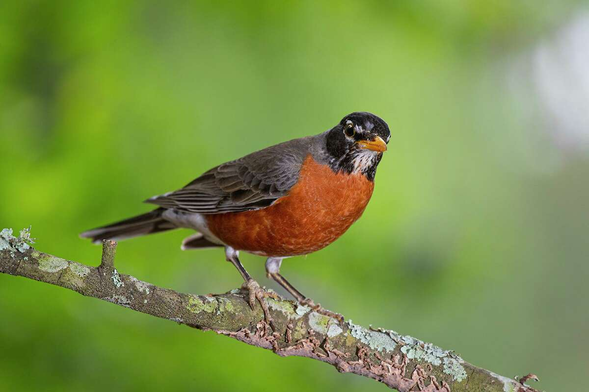 Masses of American robins arrived in the area in November to spend the winter. They join the resident population to form large flocks. Photo Credit: Kathy Adams Clark. Restricted use.