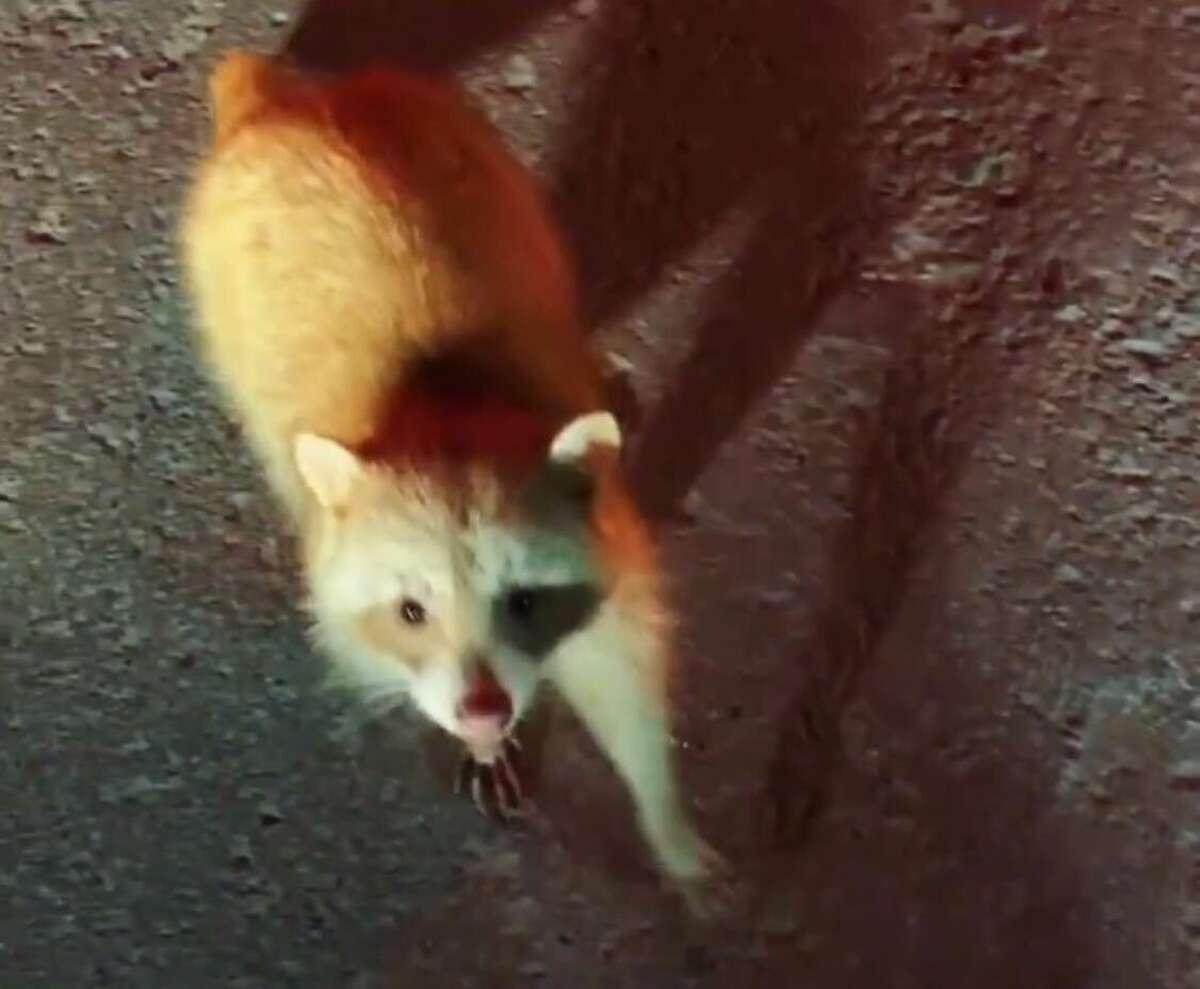 Timmy the albino raccoon.