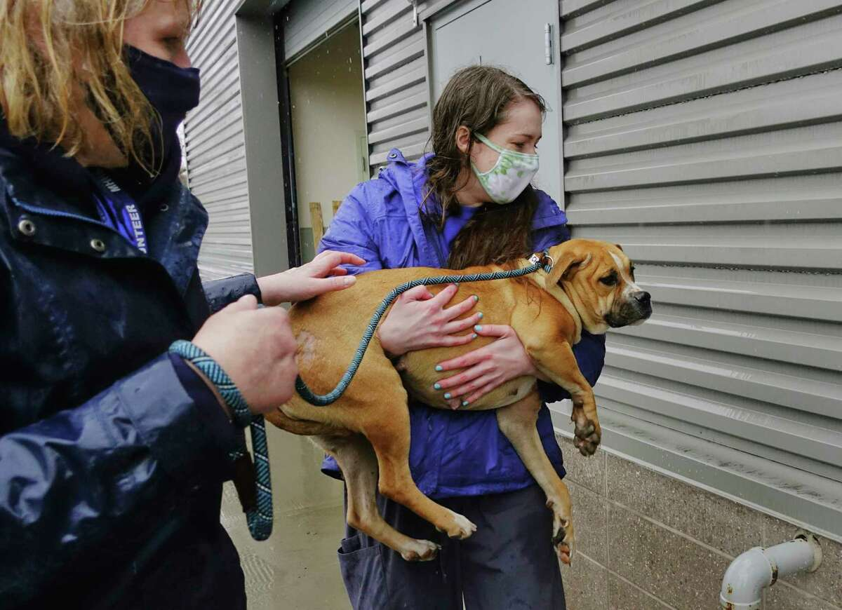 Volunteer, Anne Brockenauer, left, and Caitlin Davis, director of operations at the Mohawk Hudson Humane Society, carry Charlene into the shelter as dogs and cats from the Greater Birmingham Humane Society arrived at the Mohawk Hudson shelter on Sunday, March 28, 2021, in Menands, N.Y. The shelter in Birmingham needed to free shelter space in order to help animals displaced by the tornado and to be able to provide temporary shelter to families in crisis. Over 30 animals were brought up to the greater Capital Region with the majority coming to Mohawk Hudson Humane Society and some going to the Montgomery SPCA and some to APF. Ashley Jeffrey Bouck, CEO of Mohawk Hudson Humane Society, said that when the animals are available for adoption they will be listed on the shelter's website and those interested in adopting an animal should visit www.MohawkHumane.org to set up an appointment to visit the shelter. (Paul Buckowski/Times Union)