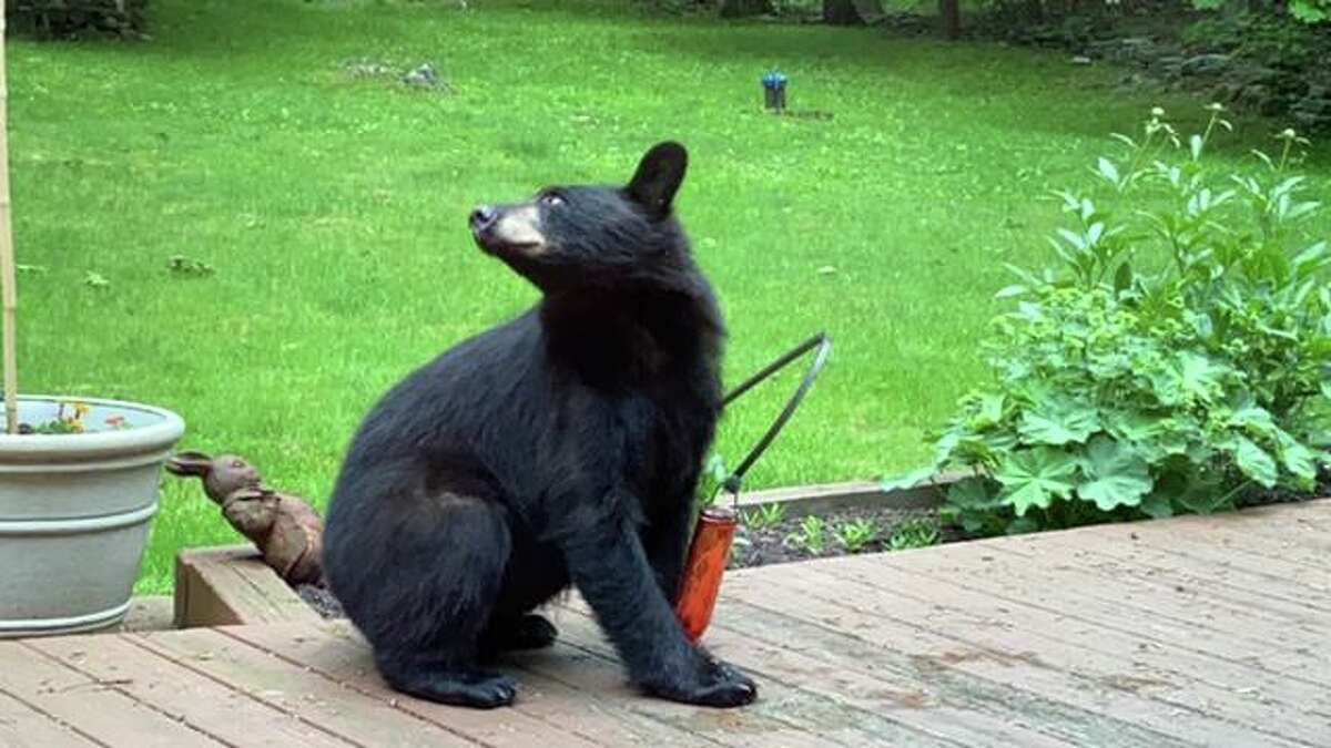 Seth Low Mountain Road resident Vittoria Quane spotted this bear in her backyard drinking from her hummingbird feeder on Tuesday, June 2 around 7 p.m. Other neighbors noticed the bear in the area as well.