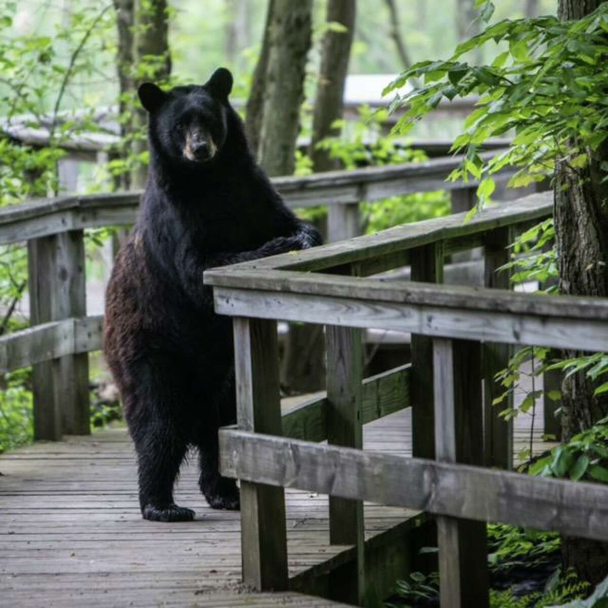Photographer Christ Volpe photographed this bear in Edgewood Park near his home in New Haven, Conn. May 27, 2020.