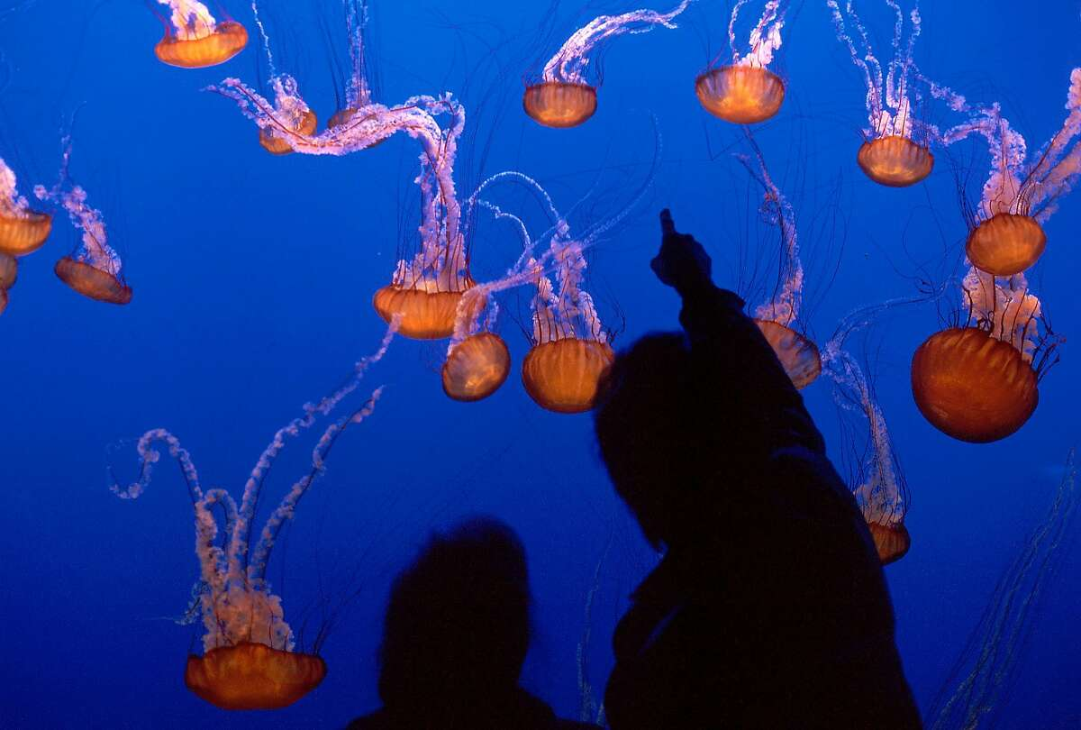 Visitors taking in the sea nettles on exhibit at Monterey Bay Aquarium. The aquarium will reopen to the public in May after being closed for more than a year due to the coronavirus pandemic.