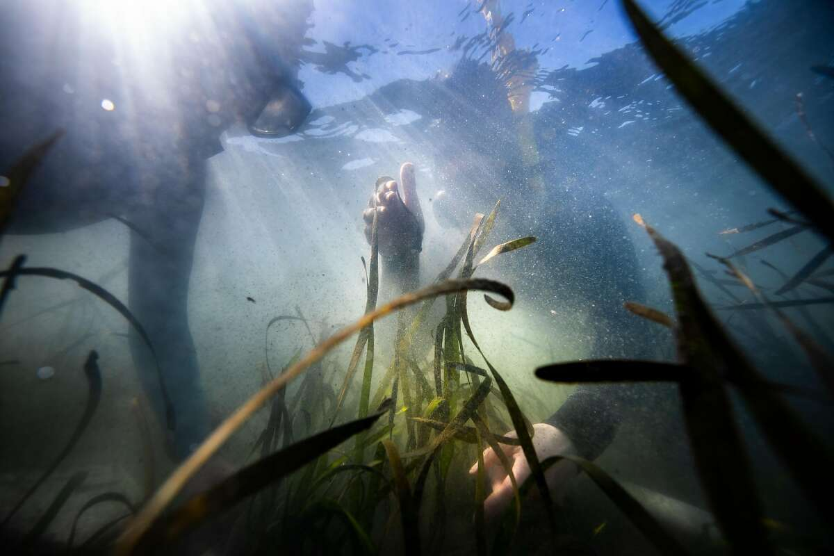 Melissa Ward (left) and Aurora Ricart snorkel in a seagrass meadow while doing research in Bodega Bay.