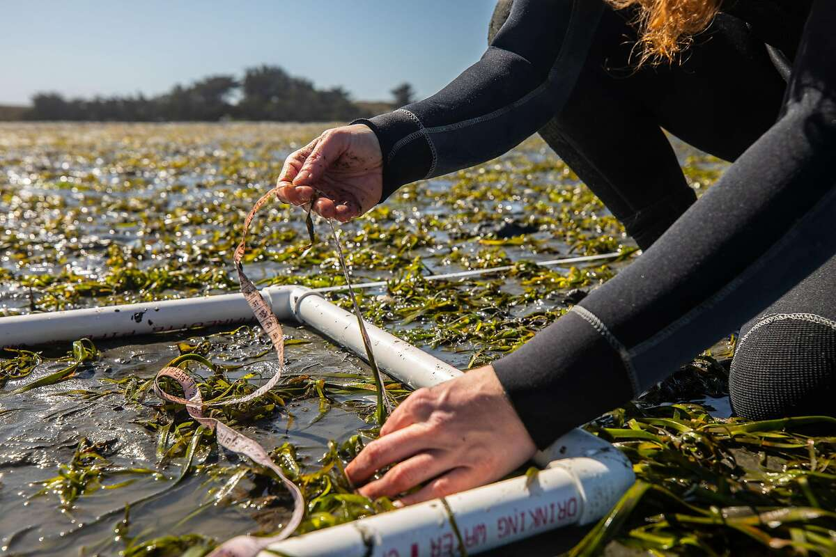 Ricart, who led the UC Davis study, measures seagrass growth in Bodega Bay.