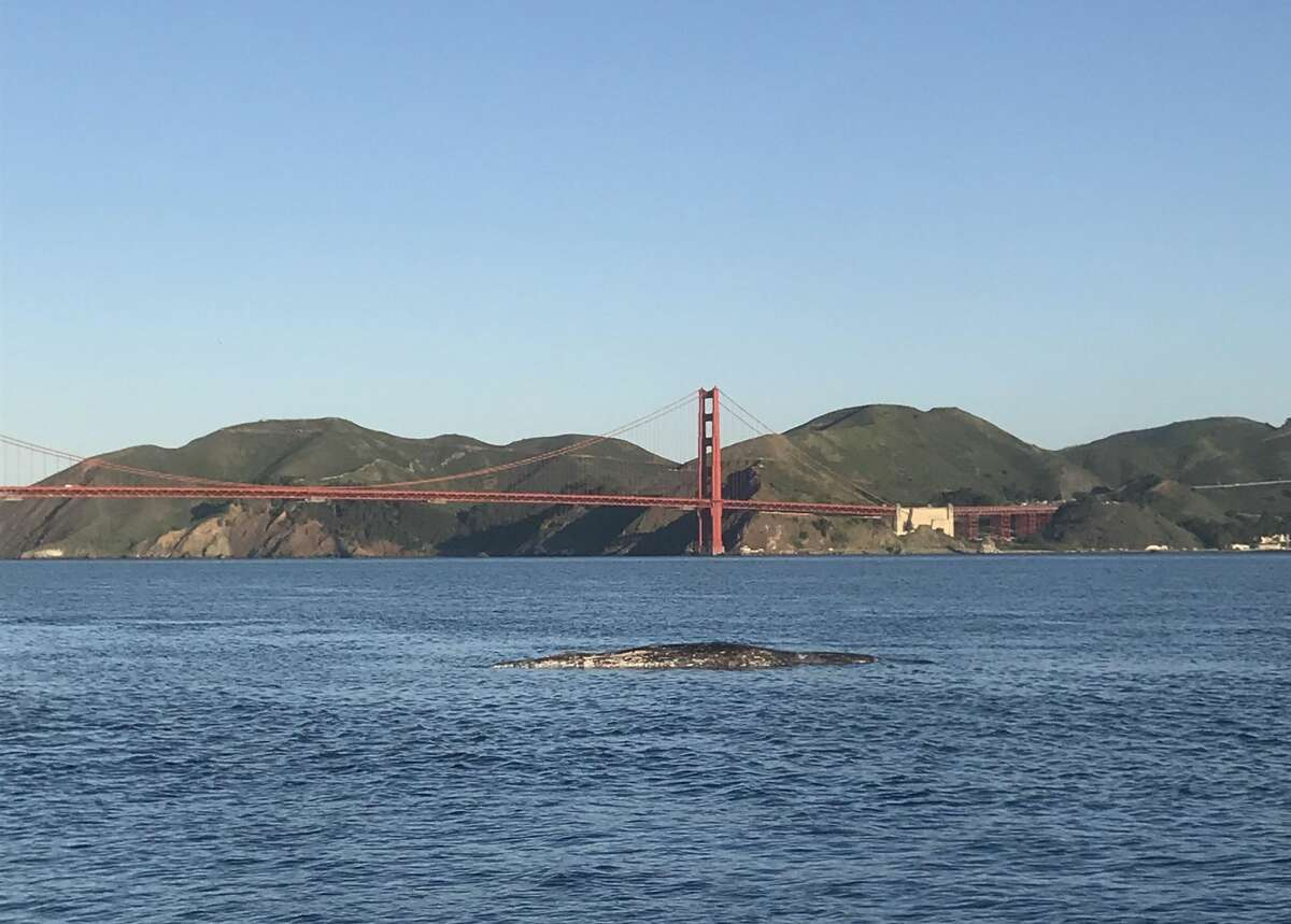 A photo of the dead whale near Crissy Field, San Francisco, March 31, 2021.