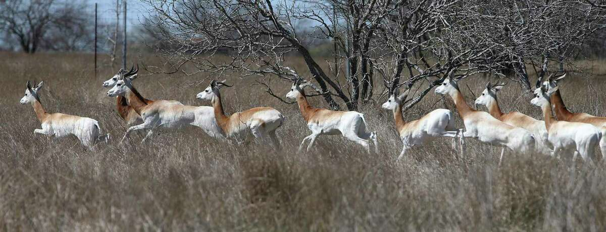Dama gazelle run in a field during a tour and viewing of exotic animals at WildLife Partners' ranch in Goliad.