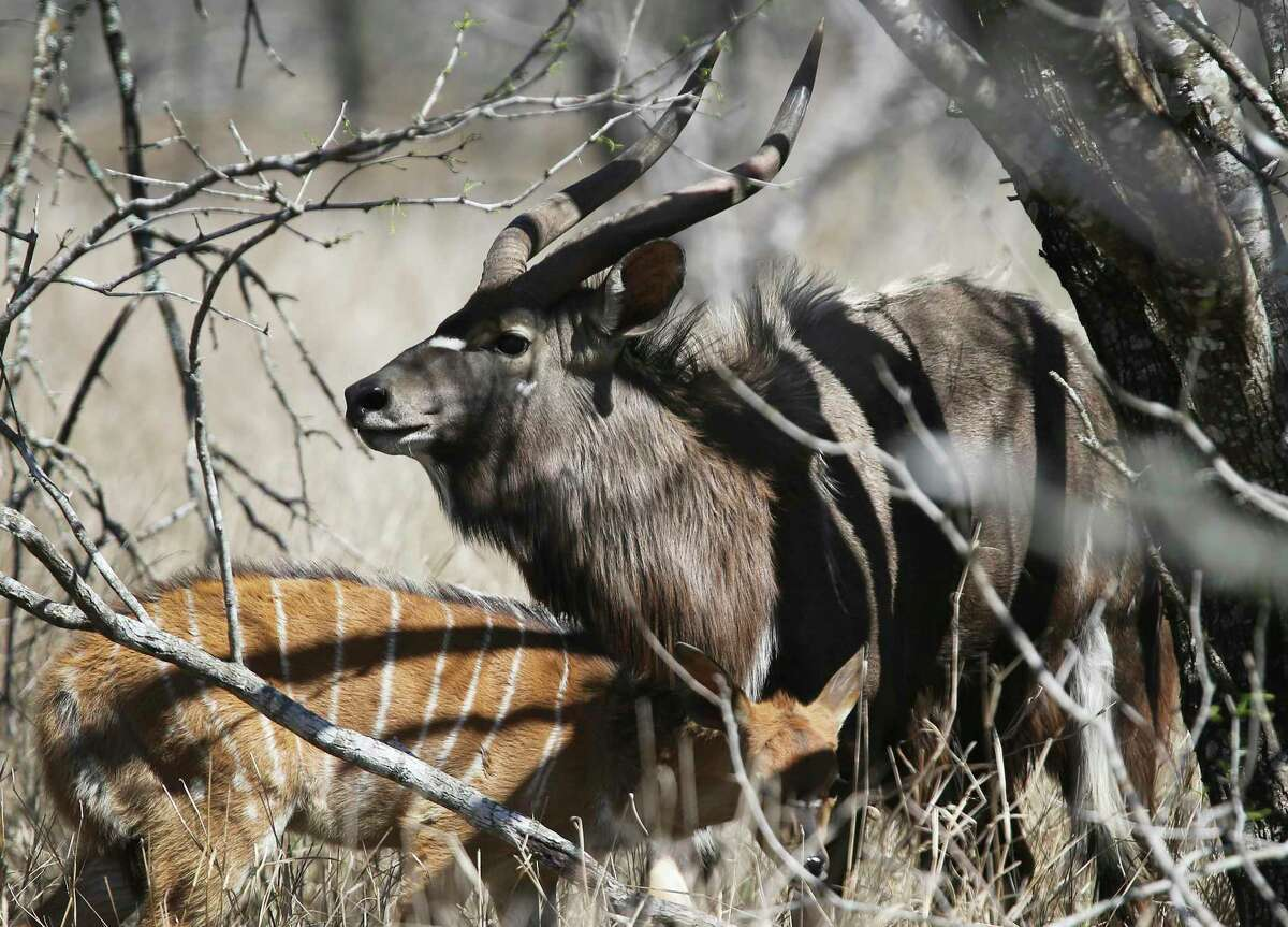 Nyala are seen during a tour of WildLife Partners' ranch in March in Goliad.