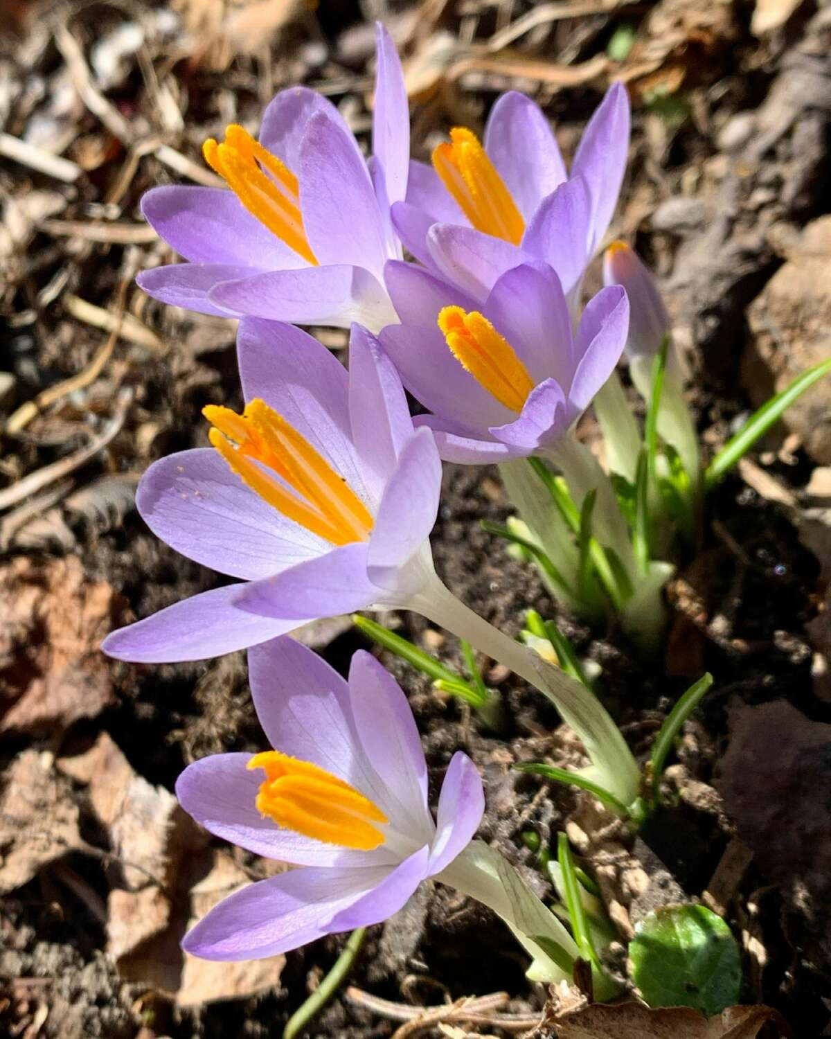 A sure sign is spring here in Averill Park are the crocuses. First flower the honey bees feed on, notes Barbara Nuffer of Averill Park.
