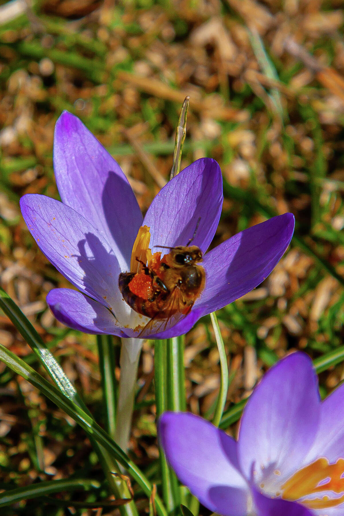 The recent warm weather has Crocus plants blooming over our lawn here in Loudonville. I was able to photograph one such plant with a bee. This bee has been collecting pollen from all the blooms. Kenneth Schwartz.