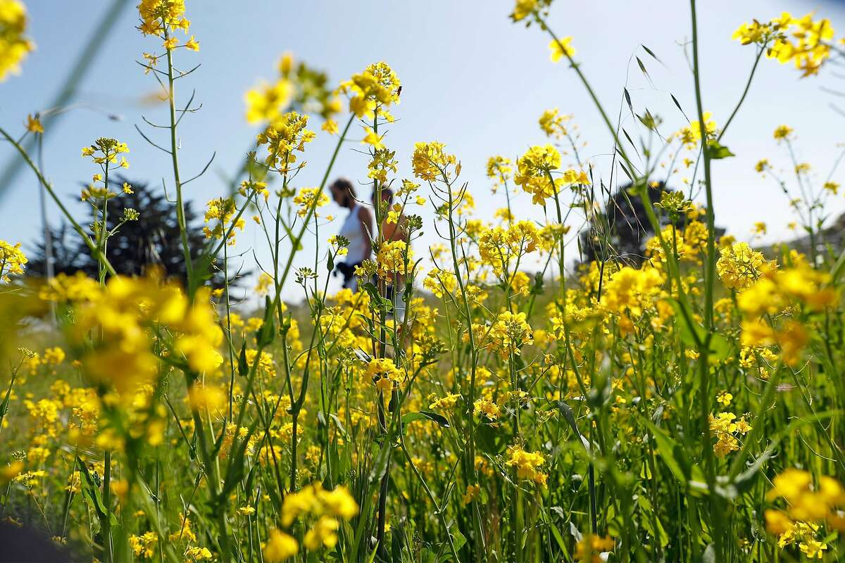 Fields of yellow mustard have bloomed early across the hills along Highway 1 in Half Moon Bay.