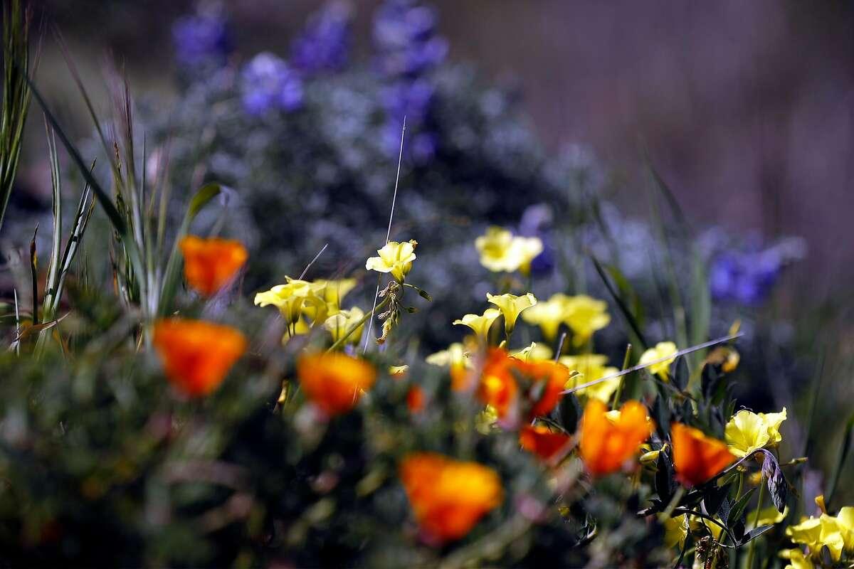 Wildflowers on San Bruno Mountain in Brisbane.