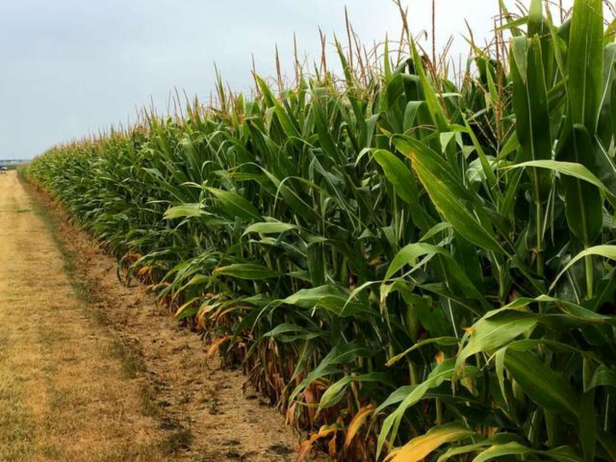 Illinois farmers plan to plant less corn and more soybeans this spring, according to the U.S. Department of Agriculture.