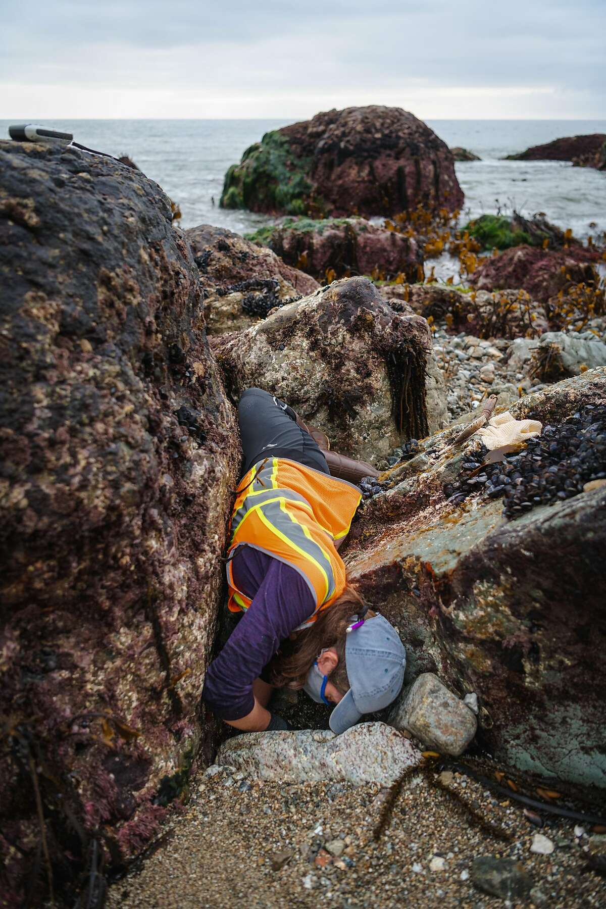 Biologist Wendy Bragg contorts herself to reach a buried black abalone.