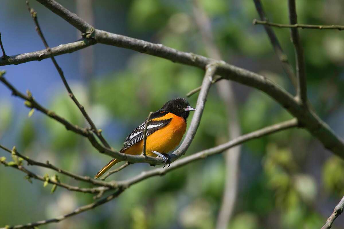 Baltimore orioles are arriving in area parks, orchards, and yards from wintering grounds in Latin America.