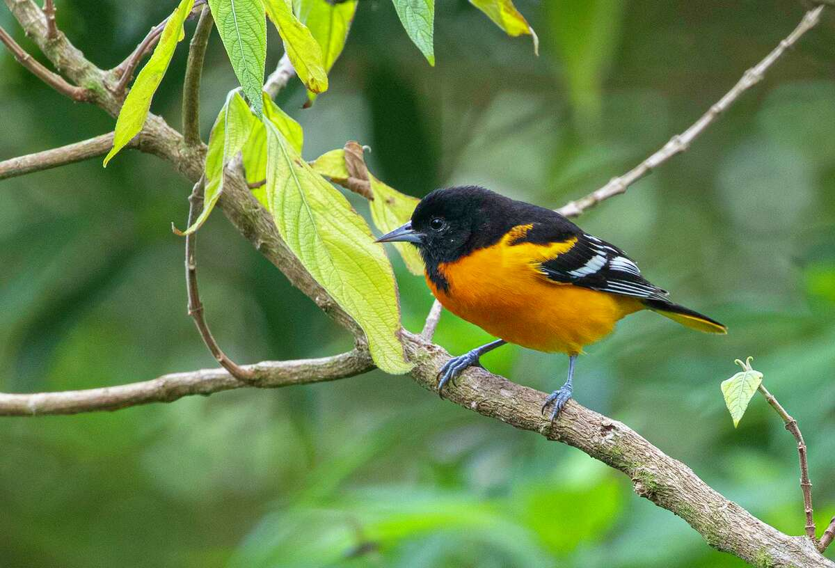 Baltimore orioles are arriving in area parks, orchards, and yards. They wintered in Latin America and will breed in parts of the United States and Canada.