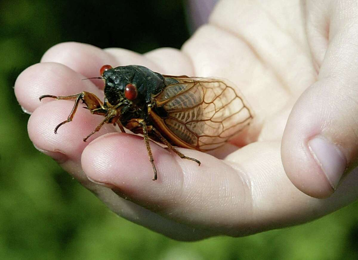 Billions of cicadas will soon invade part of the United States, including the capital Washington. The phenomenon is rare and spectacular. Every 17 years, cicadas come out en masse into the open air to mate, lay eggs and then die.