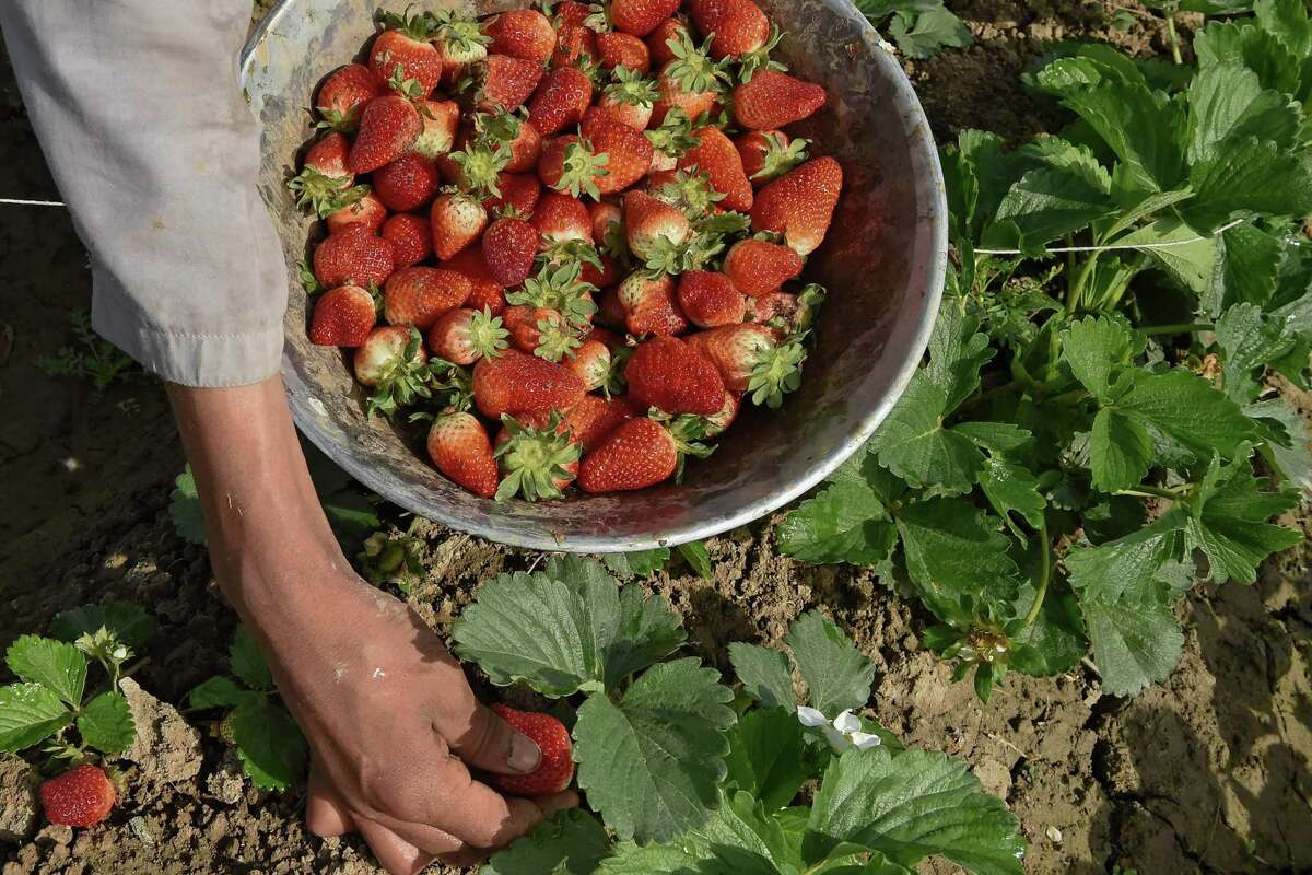 Strawberries will not continue to ripen once pulled from the vine, so buy them at peak ripeness.