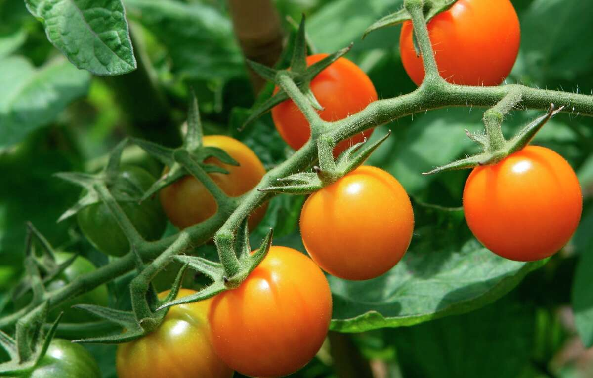 Bay Area gardeners in cool climates have had good luck with 'Sungold' cherry tomatoes, above. Don't forget to label your plants, left, so you'll know what you planted.