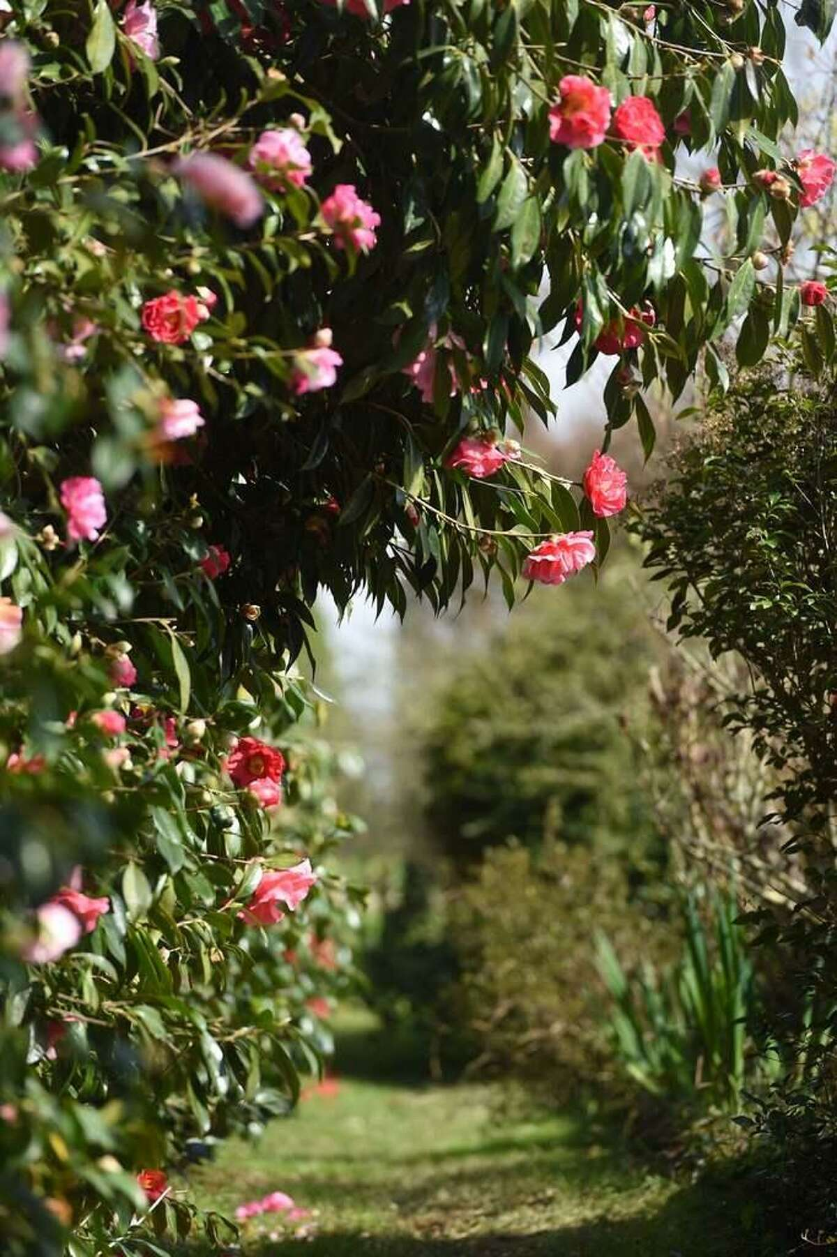 Camellia are evergreen, blooming shrubs that can grow to around 10 feet tall.