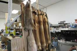 Louie Domerese bought animal pelts from a customer who happens to be a trapper and will use them in custom projects at his shop.