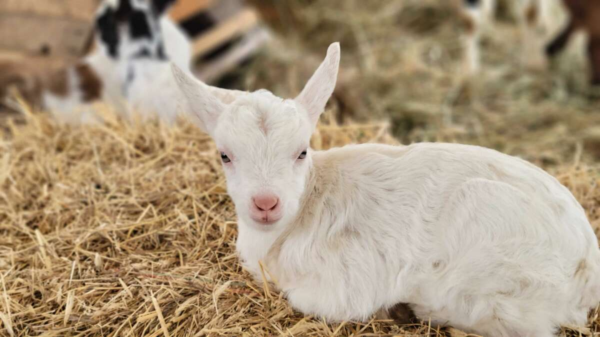 This year, you can do more than just admire photos of cute calves, sweet little lambs, baby bunnies and kids of the four-legged variety at Indian Ladder Farms' Baby Animal Days. The event, which has been running for nearly 25 years, is back. Visitors to the Altamont farm may pet and learn about baby farm animals and interact with them.