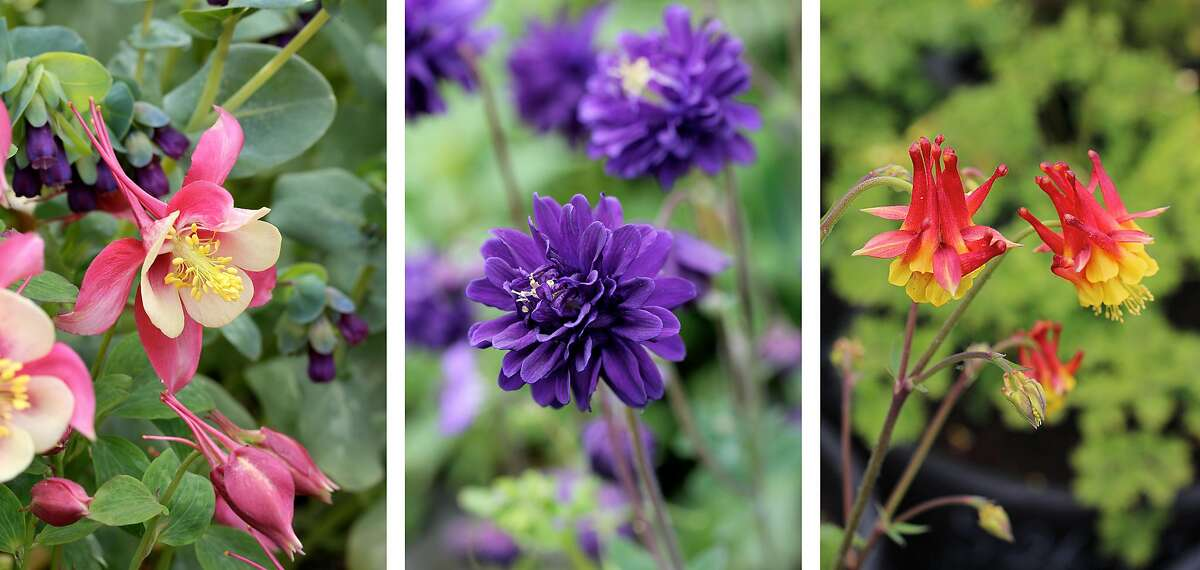 Columbines are one of the prettiest flowers for a garden spot in bright shade. Above are three types: Rose Queen (left), Blue Barlow and Flore Pleno.