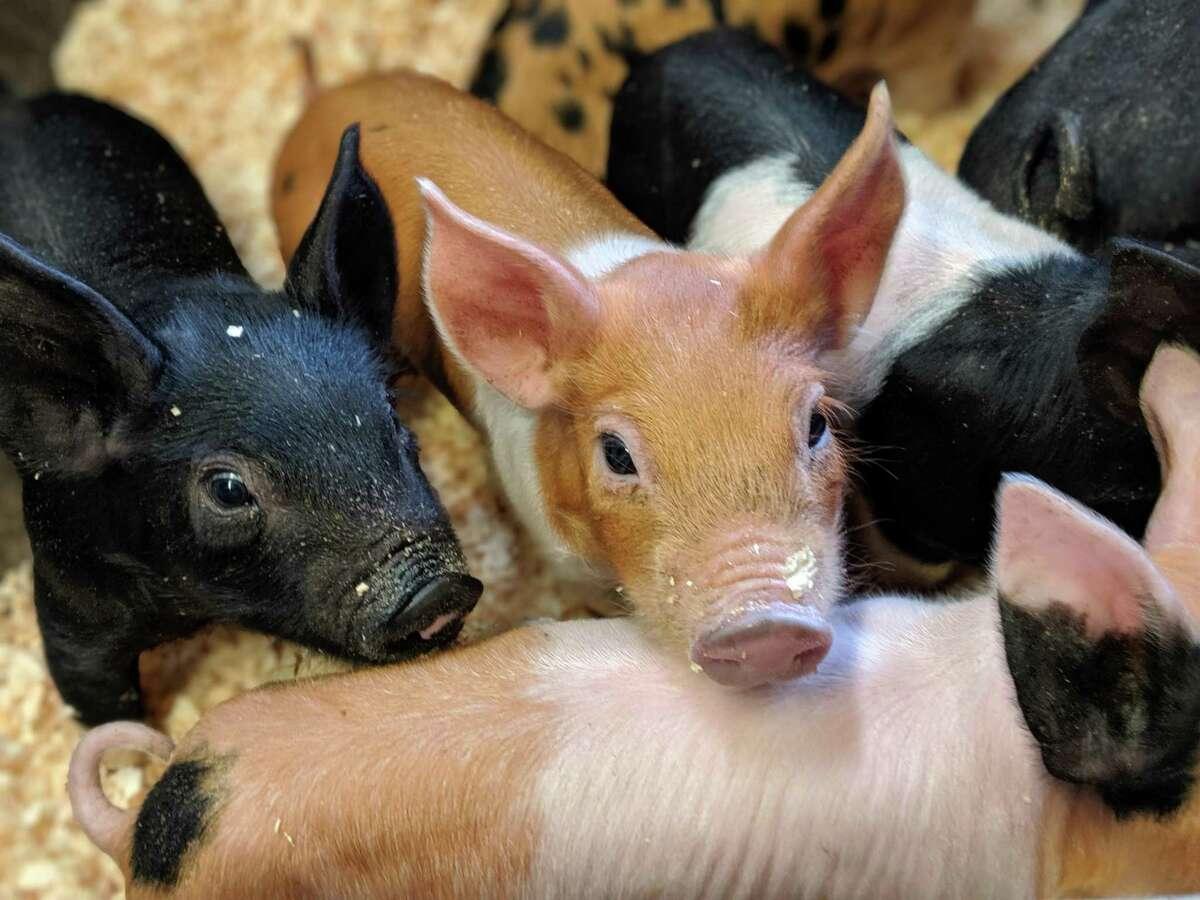 Cross-breed piglets at Secchiaroli Farm.