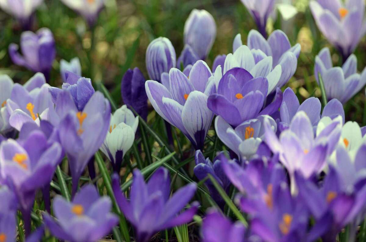 Springtime crocus blooms from an Upper Peninsula garden are shown. (Courtesy photo/Michigan Department of Natural Resources)