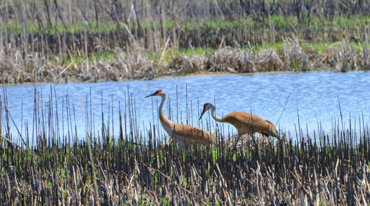 A pair of Sandhill cranes wade through reeds at Arcadia Marsh. Waterfowl are typically among the earliest arrivals of the spring migration.