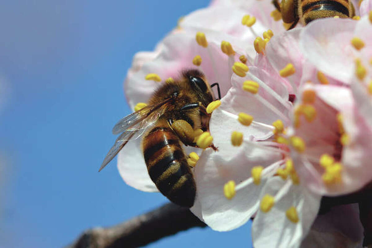A honeybee is among the more than 1,000 that were feasting on apricot blossoms south of Waverly.