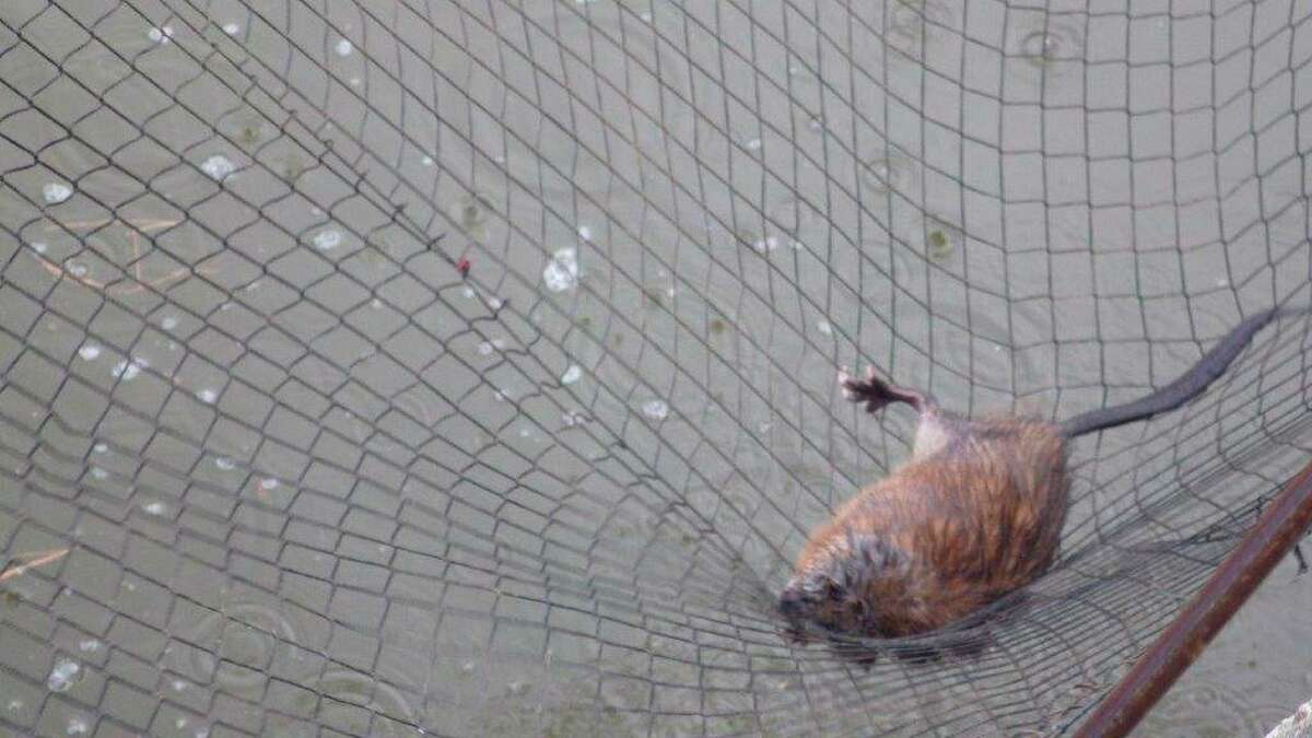 An unhappy muskrat caught in the dip-net was quickly released back into thewater. (Tom Lounsbury/Hearst Michigan)