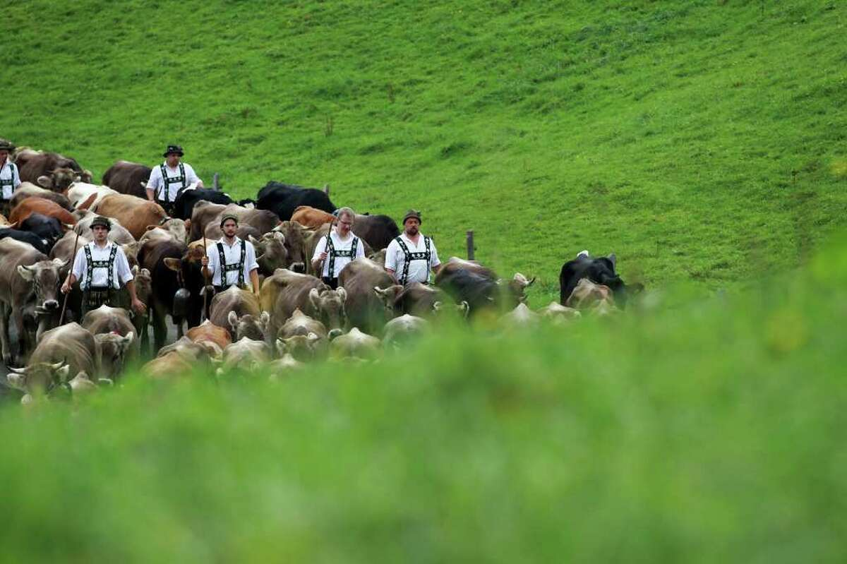 OBERSTAUFEN, GERMANY - SEPTEMBER 10: Farmers lead cattle down from the mountains on September 10, 2010 in Oberstaufen, Germany. Up to 1200 cattle returned to the valley after spending the summer months in the mountains. (Photo by Miguel Villagran/Getty Images)