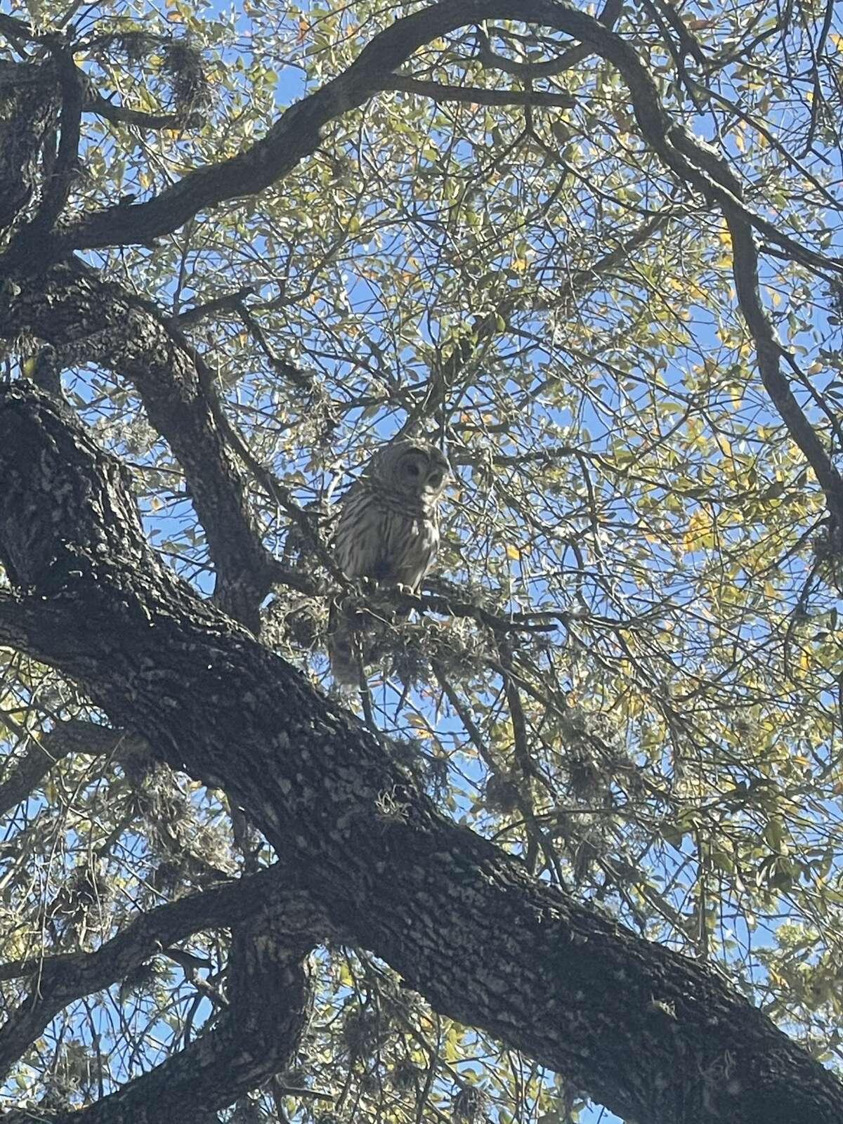 Joshua Giles, the general manager for Hops & Hounds, told MySA.com the family consists of about 3 to 4 owls, and one of them is aggressive.